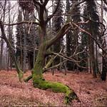 Virginia Water Oak