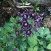 Columbine Grannys bonnets dark purple