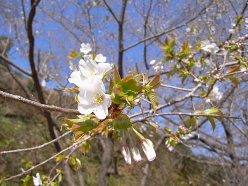 09-03-22【桜】@和歌山・青岸渡寺