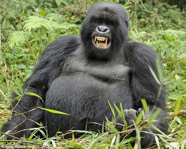 Mountain Gorilla (Creative Commons)