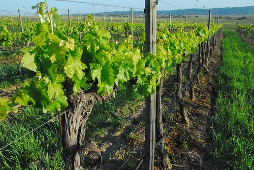 First vineyard leaves