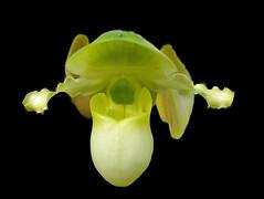 Happy Wednesday.... (Laramie_Coyote) Tags: orchid flower nature flora explore thegoldengallery stunningplanetearth screamofthephotographer damniwishihadtakenthat saariysqualitypictures lizasenchantingphotogarden btglevel1