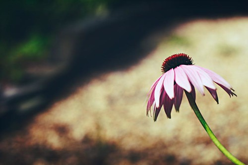 coneflower2web