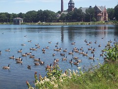 A Gaggle of ... Geese?