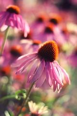 Happy Echinacea Bokeh Wednesday (Moon over Belgium) Tags: morning light echinacea bokeh zonnehoed hbw bokehlicious persephonesgarden
