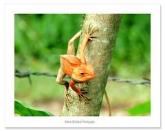 Hello Everyone !! (Anuma S. Bhattarai) Tags: nepal wild pet tree nature garden asia shot sunday july cybershot lizard kathmandu cyber nepali gardenlizard anuma bhattarai cybershotdsch50 anumabhattarai