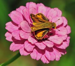 My World is Pink (Jeff Clow) Tags: macro closeup butterfly garden texas searchthebest skipper dfw zinnia 1exp jeffrclow