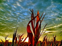 Cornfield (patrickpasty) Tags: blue autumn sunset red food sunlight plant green up field sunshine yellow closeup rural sunrise out season golden countryside corn cornfield europe close natural farm wheat country farming harvest grow straw dry sunny farmland rye growth crisp health crop land vegetation spike produce growing farmer agriculture breed bake agricultural zazzle dryed frain cultive mywinners outdoosrs