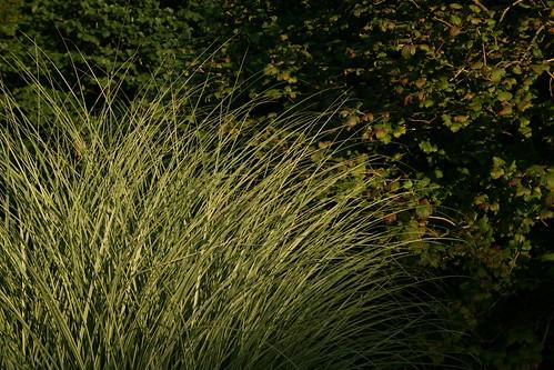 Miscanthus sinensis 'Morning Light'