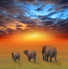The Future is Bright (Ben Heine) Tags: africa family famille light red wild summer sky orange sun 3 hot texture love nature grass clouds composition freedom soleil photo mix highresolution bravo warm poem colours peace child nikond70 kenya walk horizon tail father echo group mother safari size digitalpainting harmony chapeau poet wildanimal elephants yelow hdr mlange ecosystem savanna bigfive fullsize highres 300dpi mattepainting luminosity chaleur herbes gazon savane troupeau topshots thefutureisbright flickrsbest petersquinn fivestarsgallery benheine colourblend hubzay flickrunitedaward magicunicornverybest flickrsportal infotheartisterycom hdrfascinantrachedmiladitunisie
