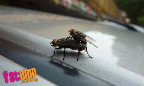 Houseflies make out on my bf's car, says STOMPer