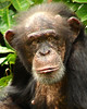 what ! (Mr Grimesdale) Tags: zoo mr chimp steve wallace primate captivity chesterzoo mrgrimsdale sonydsch2 chinpanzee grimesdale
