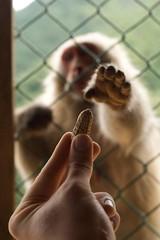 monkey want peanut