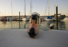 swan face (Bushery) Tags: canon brighton raw sigma 1020mm brightonmarina 400d theylikesaltsticks swansfindamateforlife