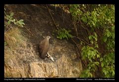 The story of an opportunity missed - to poachers! (M V Shreeram) Tags: bird nature nikon wildlife nikkor dslr karnataka 70300mm vr avifauna d90 greyheadedfisheagle doddamakkali