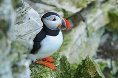 Puffin (Fratercula arctica) on a Ledge at Bempton Cliffs (Steve Greaves) Tags: sea blackandwhite cute bird nature coast wildlife beak rocky multicoloured waterbird aves naturalhistory coastal puffin comical avian seabird gettyimages atlanticpuffin fraterculaarctica bemptoncliffs redbeak orangefeet clownlike nikond300 globalbirdtrekkers nikonafsii400mmf28ifedlens