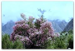 valley of flowers (TARIQ HAMEED SULEMANI) Tags: travel tourism trekking village hiking north tariq valleys northernpakistan skardu mywinners maclu canoneos500d khaplu concordians sulemani kanday lailapeaktrek hyshy