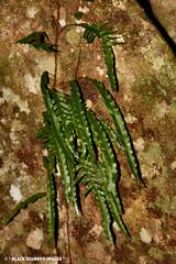 Microsorum scandens - Fragrant Fern (Black Diamond Images) Tags: fern vines vine nsw queensland ferns polypodiaceae epiphyte epiphytes australiannativeplant microsorum australianfern climbingplants climbingvine comboyne australiannativeplants climbingvines australianplants rainforestplants rainforestplant arfp australianrainforestplant australianrainforestplants vineplants australiannativeferns australianferns boorgannanaturereserve microsorumscandens vrfp nswrfp qrfp arfcp arffern australianrainforestclimbingplants arfepiphyte rainforestepiphyte comboyneplateau australianfernsandfernallies australianrainforestferns rainforestclimbingplants australianvines australiannativevines australiannativeclimbingplants australianrainforestepiphytes australianrainforestepiphyte rainforestepiphytes australianrainforestfern climbingvineplants boorgannaflorareserve