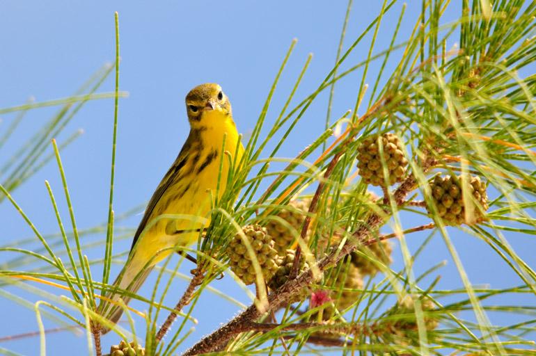 yellowbird_0230
