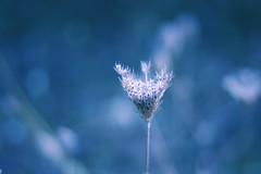 weightless on moon ( toma ) Tags: blue light white flower macro nature grass closeup canon bokeh monday eos10d hmb 50mmf18 toma01