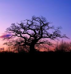 Tree #19 (Porgyfish) Tags: park uk trees sunset england sky tree nikon estate branches united kingdom cotswolds gloucestershire bathurst lonelytree cirencester p6000 topseven karmapotw superaplus aplusphoto platinumheartaward artofimages porgyfish bestcapturesaoi