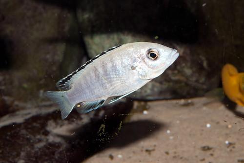Labidochromis caeruleus Nkhali