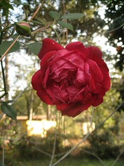 'Louis Phillippe' rose