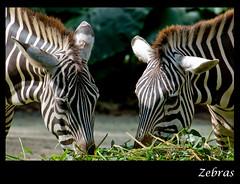 Zebra - Singapore Zoo (Souvik_Prometure) Tags: zoo singapore wildlife zebra soe singaporezoo specanimal wildlifeasia abigfave platinumphoto aplusphoto theunforgettablepictures souvikbhattacharya