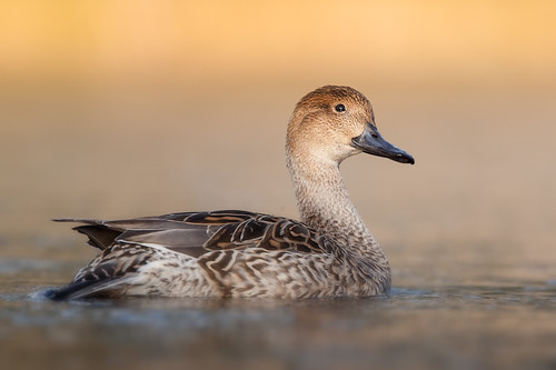 20090125-pintail duck2
