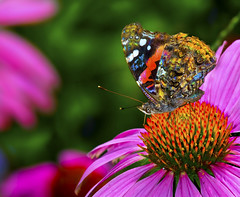The Colors of Summer (Uncle Phooey) Tags: pink flowers summer orange color macro green nature closeup butterfly colorful purple blossoms explore blooms ozarks purpleconeflower bej abigfave unclephooey