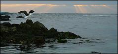Las Cujas (nachik) Tags: chile sunset sun bird sol clouds atardecer mar ave nubes gaviota pacfico pjaro cachagua rayos ocano lascujas