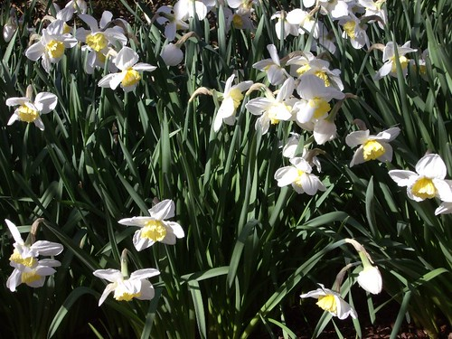 NARCISSUS AT SISSINGHURST CASTLE