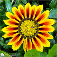 Gazania...the obsession continues ( Rizwan Mithawala) Tags: flower macro nature beauty bug flora gazania breathtaking floralfantasia