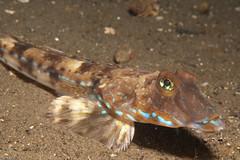 DSC_005620090321 (andyolsson) Tags: fisk pumphuset flyfiskcallionymusreticulatus