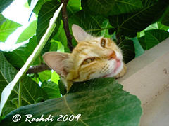 Kindly can you let me sleep please (Rashdi) Tags: sleeping cat sony karachi rashdi dscw55 catmoments