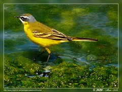 Oiseau  jaune... Yellow bird ... Gelb vogel .... Amarillo ave... gele vogel (Rached MILADI -  ) Tags: green bird animal yellow jaune lumix vert panasonic 18 animaux oiseau fz tunisie      rached fz18 dmcfz18 miladi  rachedmiladi