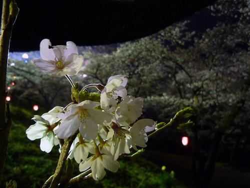 大法師桜'09_1