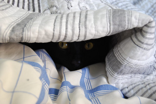 Figaro puts himself to bed under the covers