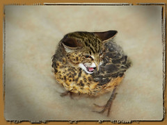 Le Chasillon sauvage (ceci est un OGM) Kitten or Little bird?? The Wild Kittenird ?! (sevyl) Tags: animals monster photomanipulation photoshop zoo kitten gene tabby beak manipulations humour illusion experience photomontage bec animaux oiseau specialeffects chaton monstre trucage damncool exprience effet colre mutations gne clonage oisillon gntique effetsspciaux mtamorphoses animorphing mygearandmepremium sevyl sevylphotographie