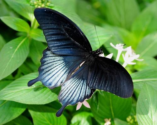 butterflies-Brooksde - 70