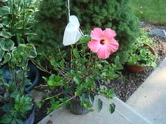 7/19/09 Hibiscus rebirth