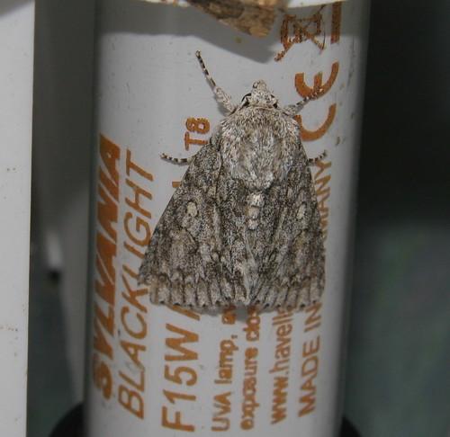 Sycamore (Acronicta aceris)