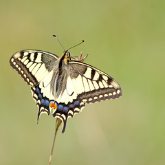 Schwalbenschwanz / Old World Swallowtail (til213) Tags: butterfly wiese alb swallowtail schmetterling spaziergang schwbischealb schwalbenschwanz naturesfinest pfullingen mywinners theunforgettablepictures naturewatcher platinumheartaward