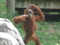 Kung Fu Orangutan