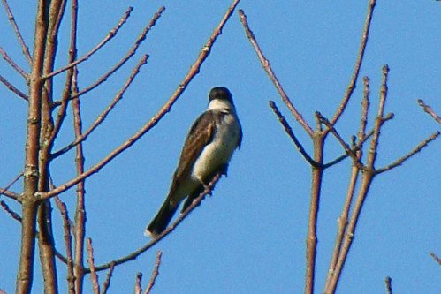 kingbird callahan