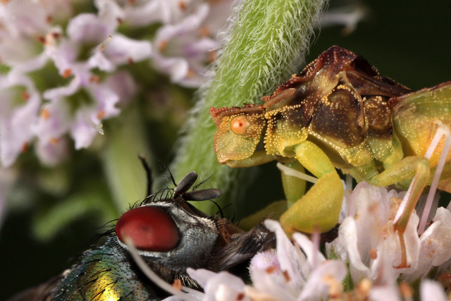 Ambush Bug vs. Bottle Fly