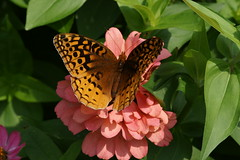 Butterfly Afternoon (hotes trinkets/DaydreamingKat) Tags: flower macro nature fleur butterfly garden insect flying wings flickr natural salmon zinnia mariposa farfalla fluttering flore schmetterling fritillary butterflyonflower bej straightfrommycamera nocolorsadded sonyalphadslra700 ubej absolutelynatural butterfliesatthehouse hotestrinkets augustatthehouse butterflyafternoon