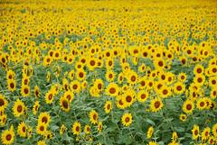 [フリー画像] 花・植物, キク科, 向日葵・ヒマワリ, 花畑, 黄色の花, 日本, 201005311700