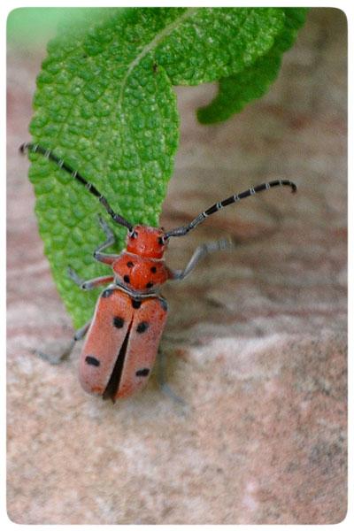 Climbing-beetle
