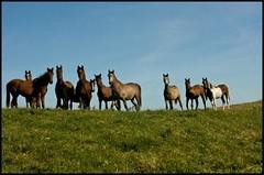 Yearlings and 2-year-olds (Omnishots.) Tags: ireland mayo greatphoto younghorses ilovehorses platinumphoto goldsealofquality rubyphotographer naturalezasolamente moylawprefix
